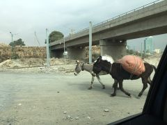 Pack mules walking down the road in Addis.